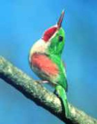 Broad Billed Tody Dominican Republic