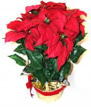 another dominican republic christmas decoration you often see is the flor de pascua which many europeans know as poinsettia and which is also named more - Christmas In Dominican Republic