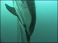 Fishing nets threaten the poor dolphin