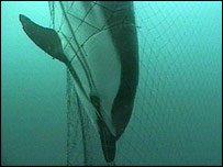 Fishing nets threaten the poor dolphin
