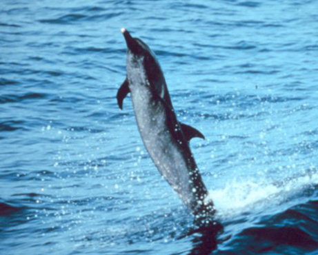 Spotted dolphin showing off!